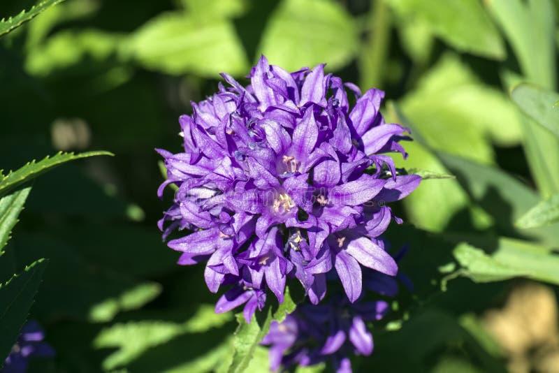 Πορφυρά λουλούδια συγκεντρωμένος bellflower στοκ εικόνα με δικαίωμα ελεύθερης χρήσης