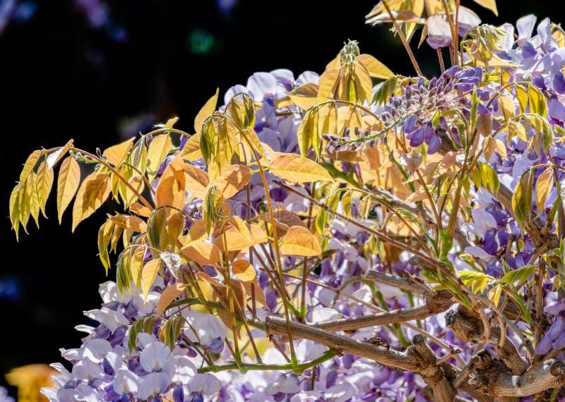 Πορφυρά λουλούδια του wisteria στο φως ηλιοβασιλέματος σε ένα μαύρο υπόβαθρο στοκ εικόνες