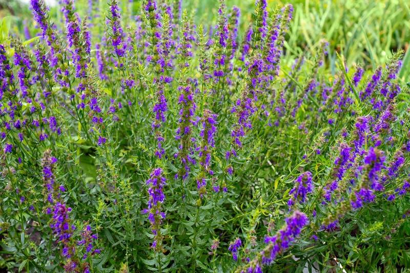 Πορφυρά λουλούδια των officinalis Hyssop Hyssopus στοκ φωτογραφία με δικαίωμα ελεύθερης χρήσης