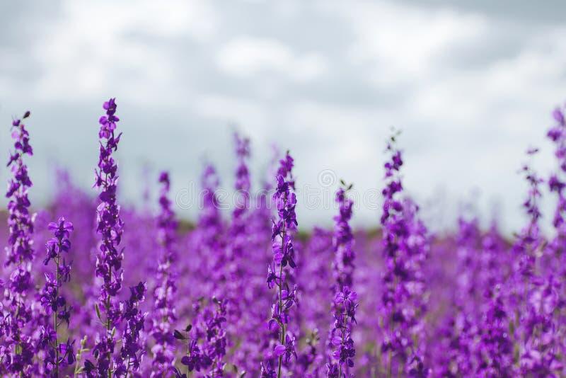 Πορφυρά λουλούδια ajacis Consolida στοκ εικόνα με δικαίωμα ελεύθερης χρήσης