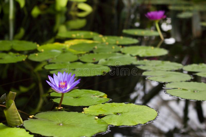 Πορφυρά λουλούδια Lotus που επιπλέουν σε μια λίμνη στοκ εικόνες