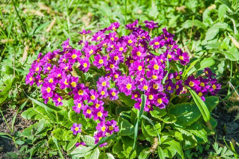 Πορφυρά λουλούδια primrose Primula vulgaris στοκ εικόνες