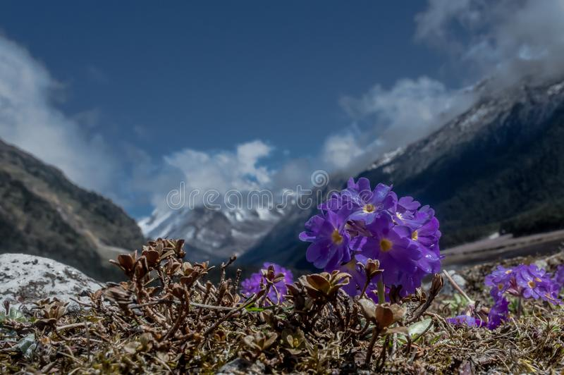 Πορφυρά λουλούδια Primula farinose ή Primrose Himalayan στην κοιλάδα Yumthang, Sikkim, Ινδία στοκ φωτογραφία με δικαίωμα ελεύθερης χρήσης