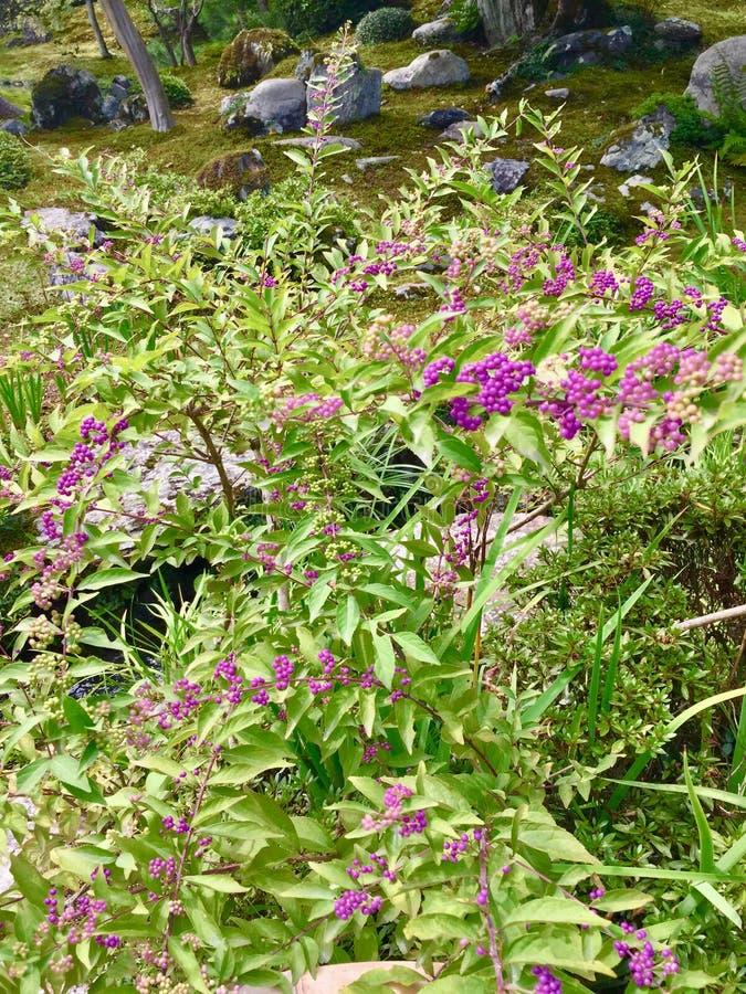 Πορφυρά μίνι άγρια μούρα στον κήπο της Zen στοκ εικόνα με δικαίωμα ελεύθερης χρήσης