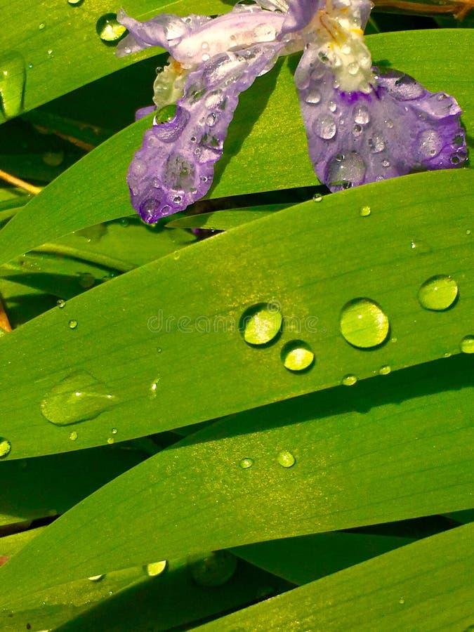 Πορφυρά μικροσκοπικά πέταλα της Iris και πράσινα φύλλα με τα σταγονίδια νερού στοκ εικόνα με δικαίωμα ελεύθερης χρήσης
