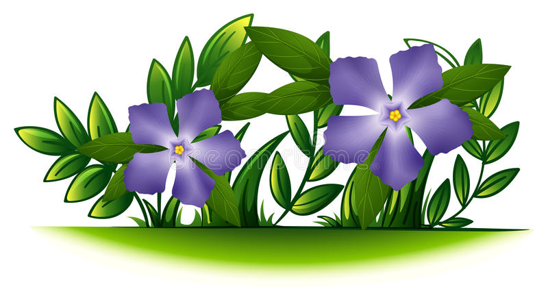Πορφυρά λουλούδια βιγκών στον πράσινο θάμνο διανυσματική απεικόνιση