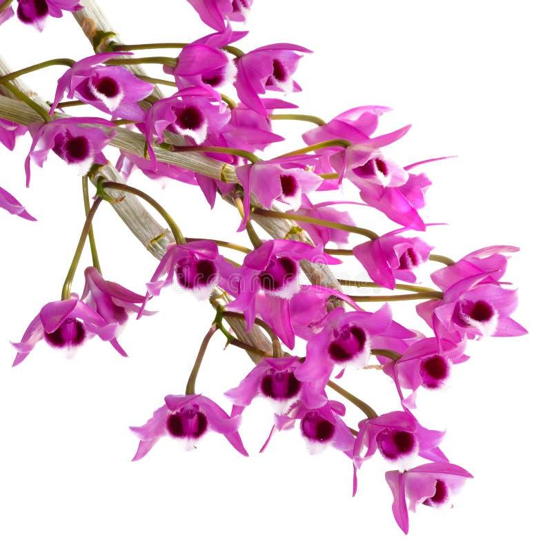 Πορφυρά λουλούδια ορχιδεών που απομονώνονται στο άσπρο υπόβαθρο στοκ εικόνα