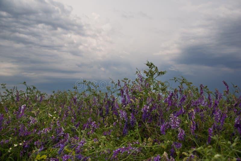 Πορφυρά λουλούδια στην πράσινη χλόη με το νεφελώδη ουρανό στοκ φωτογραφία