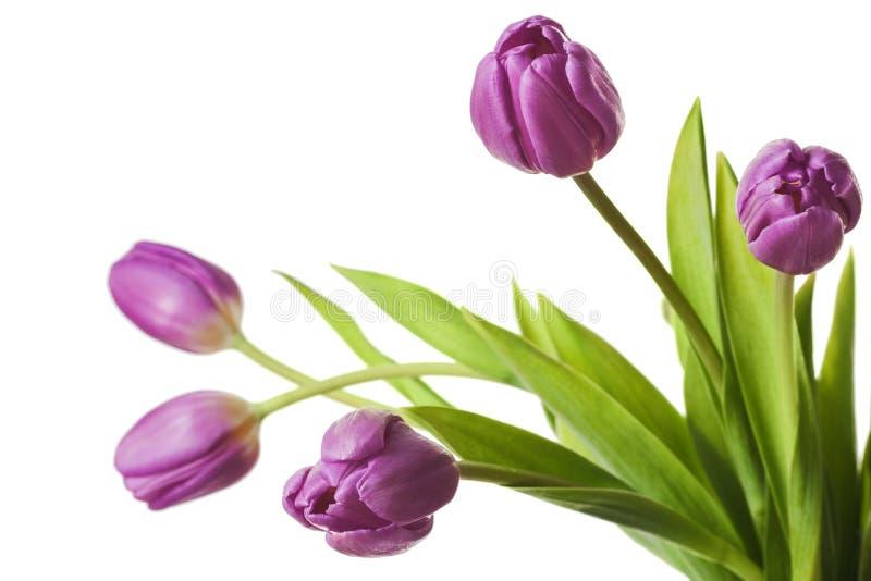 Πορφυρά λουλούδια τουλιπών που απομονώνονται στοκ εικόνες