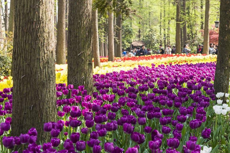 Πορφυρά λουλούδια τουλιπών στοκ εικόνα με δικαίωμα ελεύθερης χρήσης