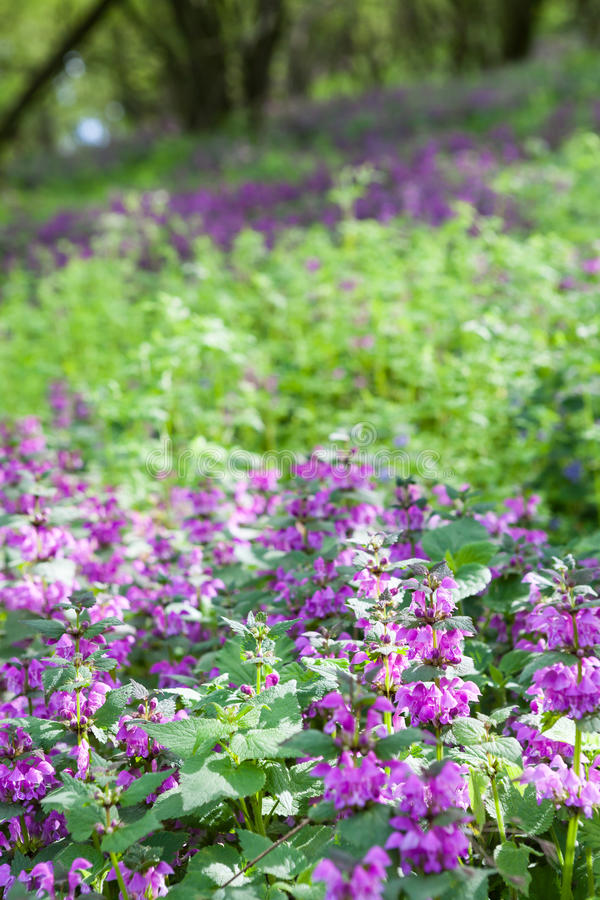 Πορφυρά λουλούδια deadnettle που αυξάνονται στο δάσος στοκ εικόνα με δικαίωμα ελεύθερης χρήσης