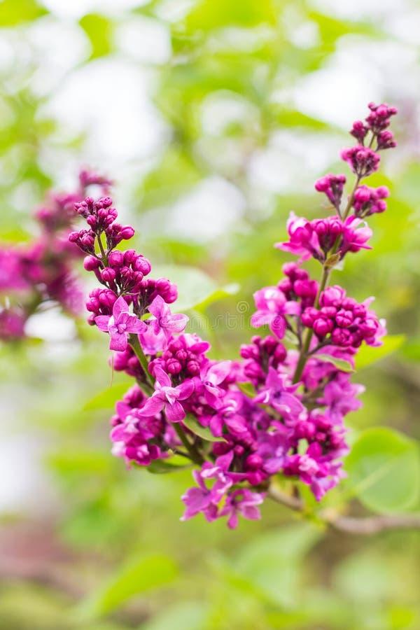 Πορφυρά λουλούδια lilaÑ  άνοιξη στοκ φωτογραφία με δικαίωμα ελεύθερης χρήσης