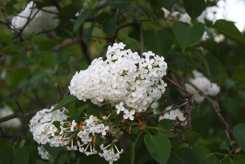 Πορφυρά λουλούδια Lillac στοκ εικόνα με δικαίωμα ελεύθερης χρήσης