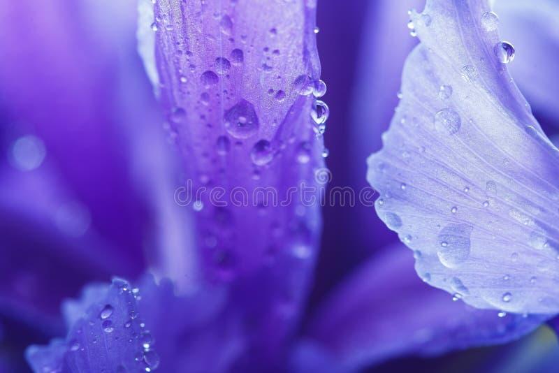 Πορφυρά πέταλα της Iris με τα σταγονίδια νερού στοκ φωτογραφίες