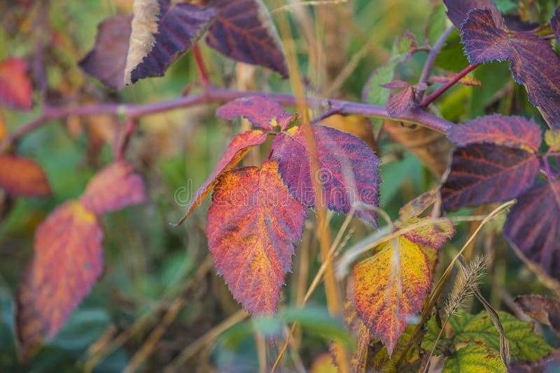Πορφυρά φύλλα του φυτού βατόμουρων στοκ φωτογραφίες με δικαίωμα ελεύθερης χρήσης