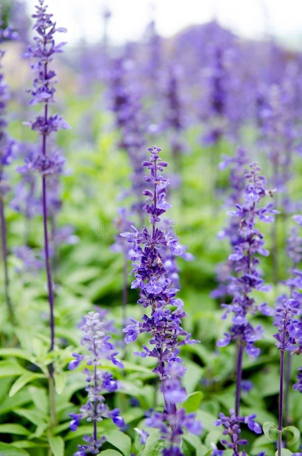 Πορφυρά lavender λουλούδια στο πεδίο στοκ εικόνα με δικαίωμα ελεύθερης χρήσης