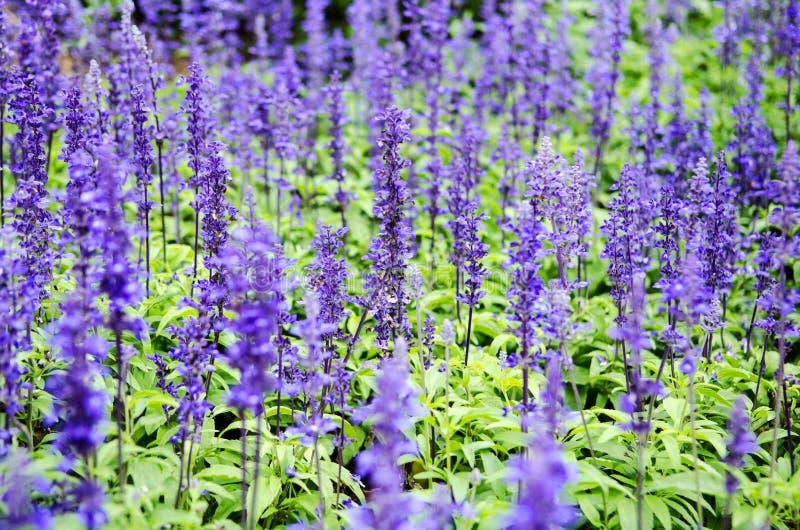 Πορφυρά lavender λουλούδια στο πεδίο στοκ εικόνες