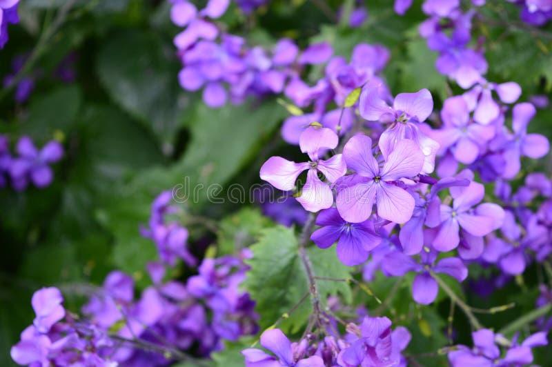 Πορφυρά matronalis Hesperis λουλουδιών στοκ φωτογραφίες