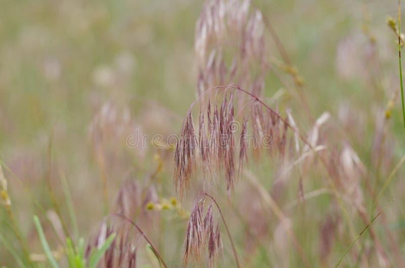 Πορφυρά spikelets των άγριων χορταριών Μαλακό υπόβαθρο Θαμπάδα γύρω από τις άκρες στοκ εικόνα με δικαίωμα ελεύθερης χρήσης