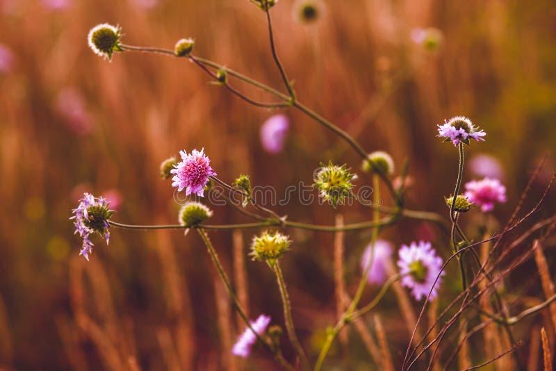 Πορφυρές πράσινες εγκαταστάσεις φύσης αγκαθιών κάρδων λουλουδιών στοκ εικόνες