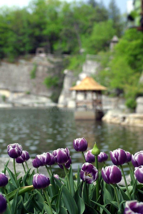 πορφυρές τουλίπες όχθεων της λίμνης στοκ φωτογραφίες
