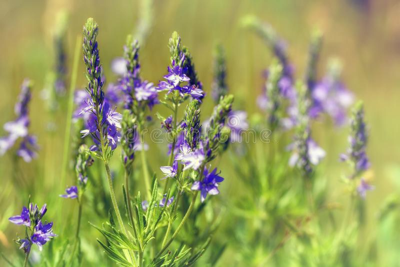 Πορφυρή άγρια κινηματογράφηση σε πρώτο πλάνο λουλουδιών υπαίθρια στοκ εικόνες με δικαίωμα ελεύθερης χρήσης