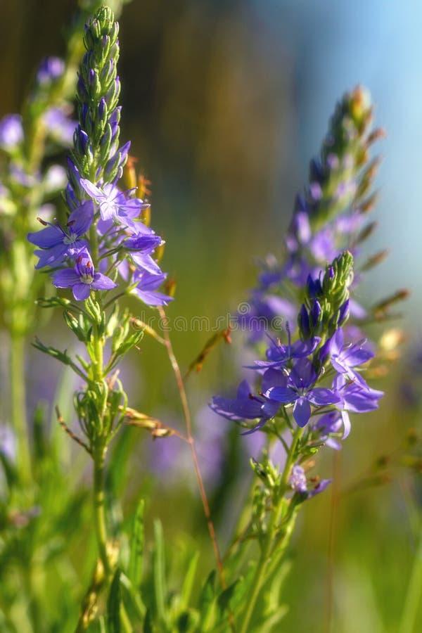 Πορφυρή άγρια κινηματογράφηση σε πρώτο πλάνο λουλουδιών υπαίθρια στοκ φωτογραφία με δικαίωμα ελεύθερης χρήσης
