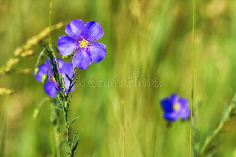 Πορφυρή άγρια κινηματογράφηση σε πρώτο πλάνο λουλουδιών υπαίθρια στοκ εικόνα