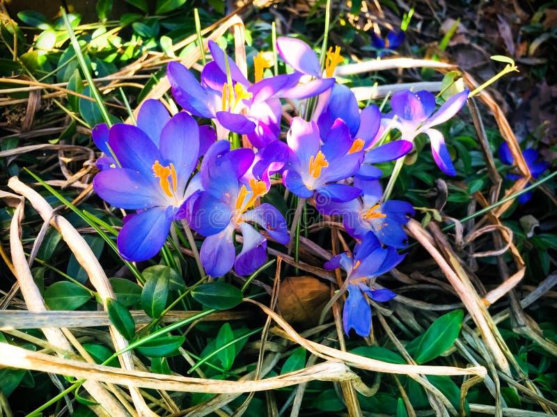 Πορφυρή άνθιση λουλουδιών κρόκων άνοιξη στοκ φωτογραφία