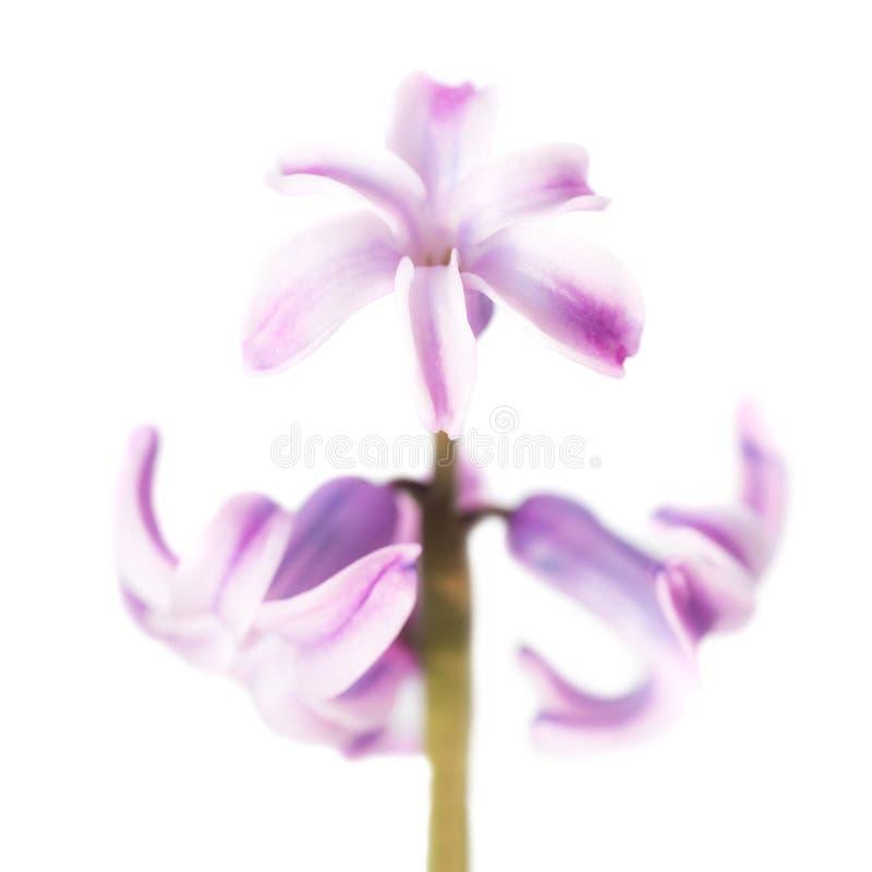 πορφυρή άνοιξη υάκινθων λουλουδιών στοκ φωτογραφία με δικαίωμα ελεύθερης χρήσης