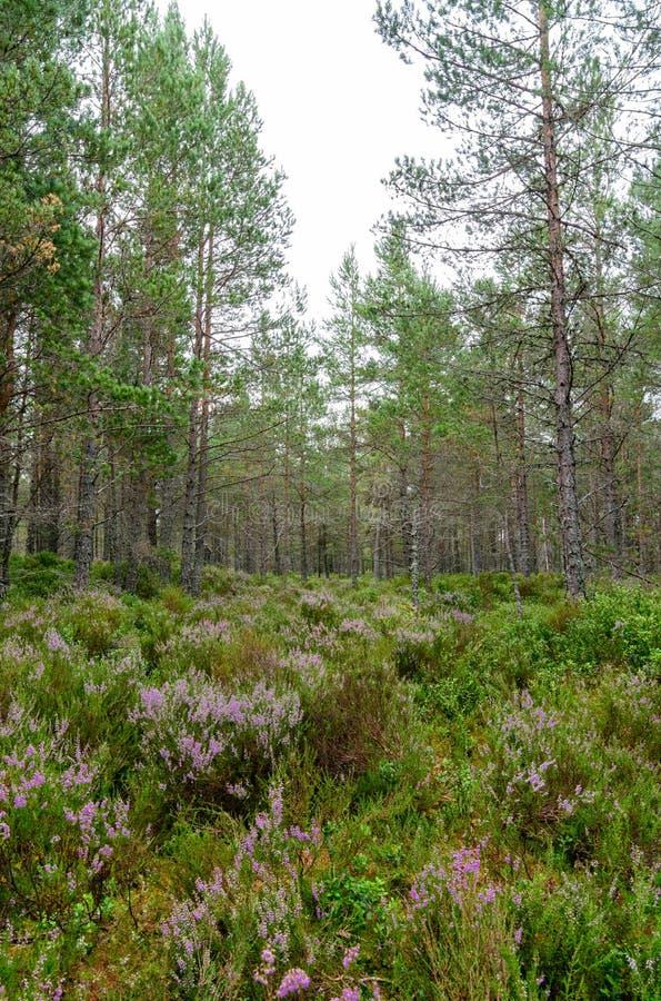 Πορφυρή ερείκη στο δάσος Inverdruie στοκ εικόνες