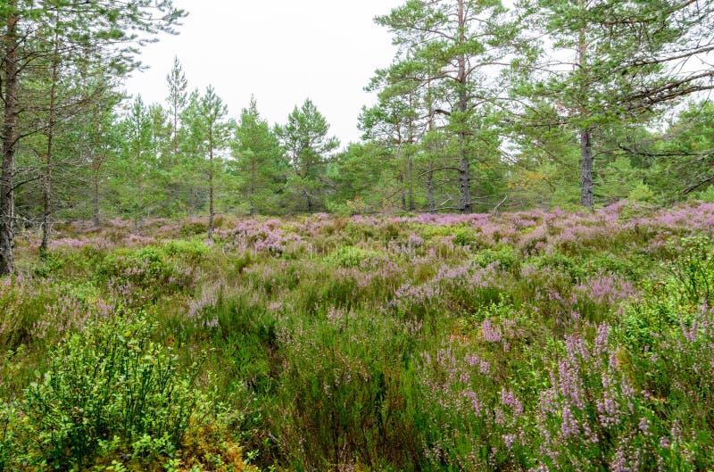 Πορφυρή ερείκη στο δάσος Inverdruie στοκ φωτογραφία με δικαίωμα ελεύθερης χρήσης