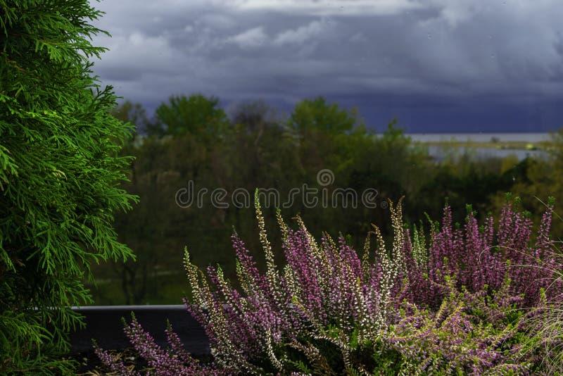 πορφυρή ερείκη στο δοχείο Λουλούδια της Heather στο παράθυρο Έννοια της άποψης επαρχίας από το παράθυρο, μουτζουρωμένο υπόβαθρο στοκ εικόνα με δικαίωμα ελεύθερης χρήσης
