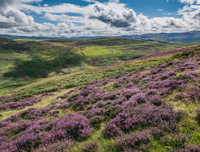 Πορφυρή καλυμμένη η Heather βουνοπλαγιά, μαύρο Hill Meldon στοκ φωτογραφίες