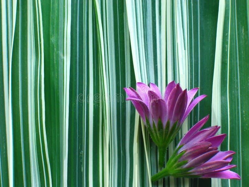 πορφυρή κορδέλλα χλόης λουλουδιών στοκ εικόνα
