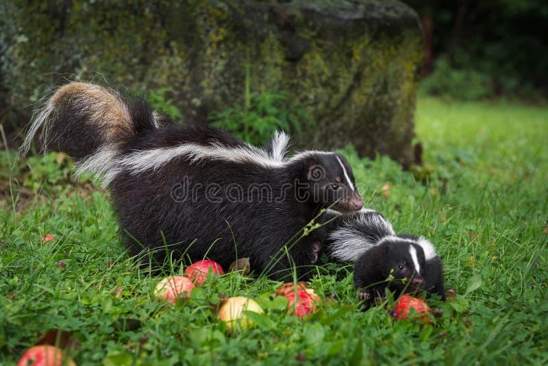 Πορφυρή μηφίτιδα με ραβδώσεις και κιτ στο Apple Strewn Grass Summer στοκ φωτογραφίες
