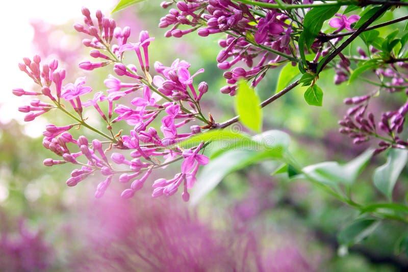Πορφυρή πασχαλιά στον κήπο στοκ εικόνες με δικαίωμα ελεύθερης χρήσης