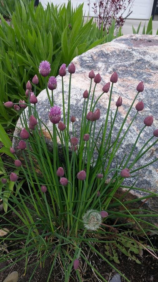 Πορφυροί λουλούδια και λίθος φρέσκων κρεμμυδιών στοκ φωτογραφία