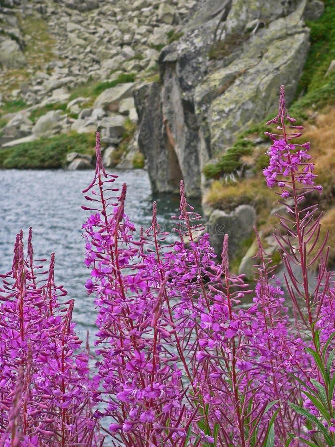 Πορφυροί λουλούδια και οφθαλμοί ανθών στοκ εικόνα