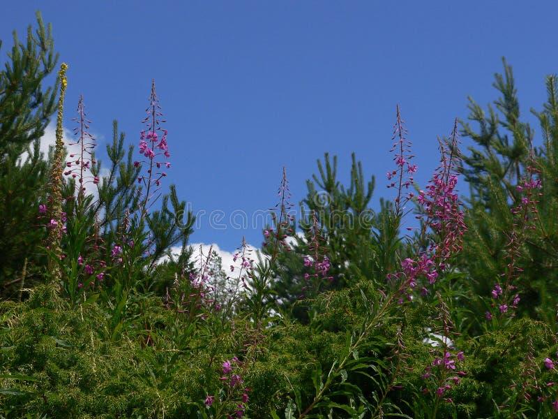 Πορφυροί λουλούδια και οφθαλμοί ανθών στοκ εικόνα με δικαίωμα ελεύθερης χρήσης