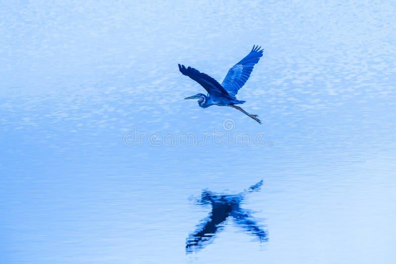 Πορφυρός ερωδιός κατά την πτήση πέρα από την μπλε λίμνη στο σούρουπο, υγρότοπος στην Ταϊλάνδη στοκ εικόνα με δικαίωμα ελεύθερης χρήσης