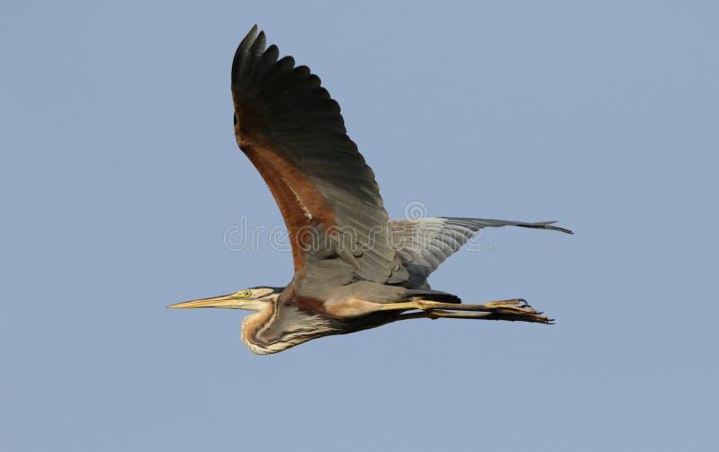 Πορφυρός ερωδιός που πετά στον ουρανό στοκ φωτογραφία με δικαίωμα ελεύθερης χρήσης
