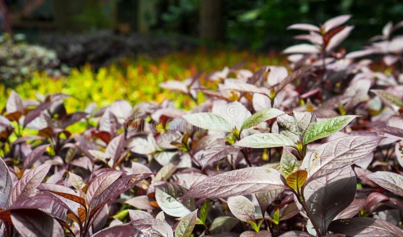 Πορφυρός θάμνος φύλλων χρώματος στον κήπο βοτανικής με το υπόβαθρο θαμπάδων στοκ φωτογραφίες