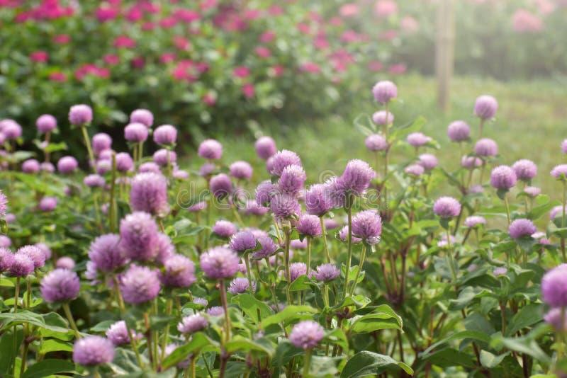 Πορφυρός κήπος λουλουδιών το πρωί γραφέων στοκ φωτογραφία
