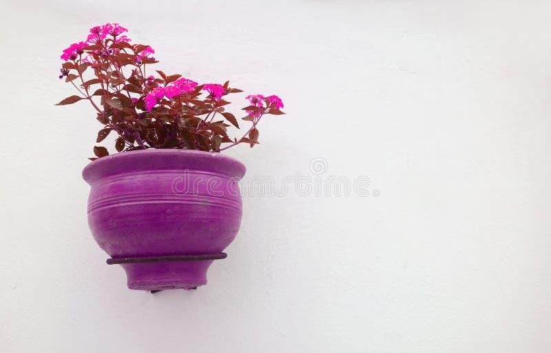 Πορφυρός και ρόδινος τόνος χρώματος Lantana Camara Flowerpot στην ένωση στον άσπρο συμπαγή τοίχο στοκ εικόνες με δικαίωμα ελεύθερης χρήσης