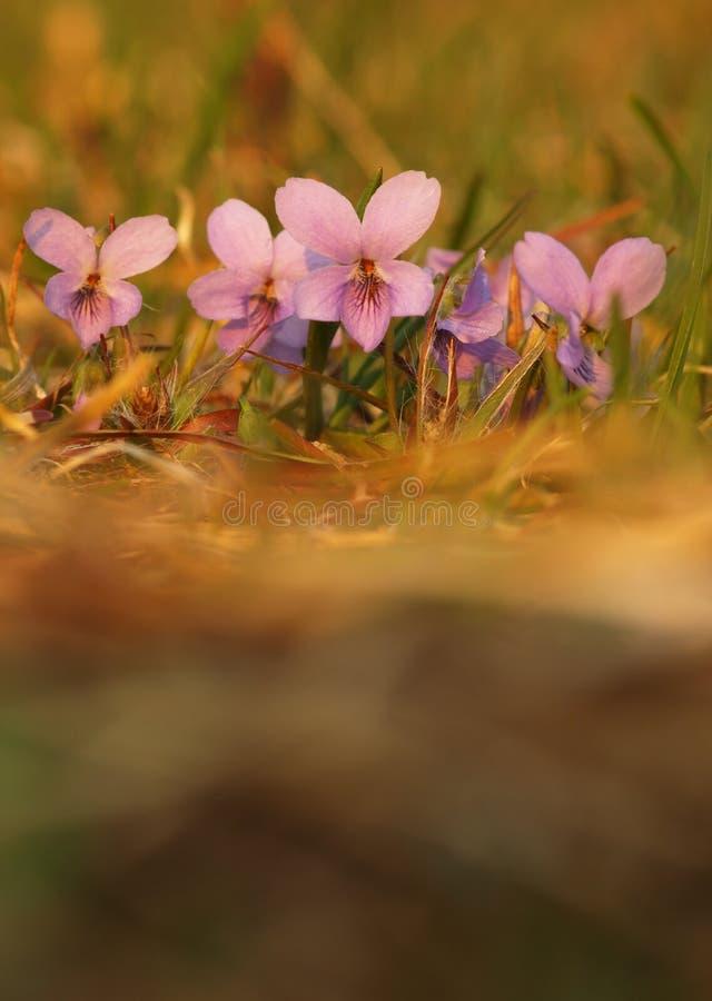 Πορφυρός κοινός ποώδης αιώνιος βιολέτων λουλουδιών του ιατρικού φυτού στη χλόη στο λιβάδι κοντά στο δάσος με τα πράσινα φύλλα και στοκ εικόνες