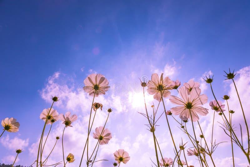 Πορφυρός, ρόδινος, κόκκινος, ο κόσμος ανθίζει στον κήπο με το μπλε ουρανό και το υπόβαθρο φωτός του ήλιου στοκ εικόνα
