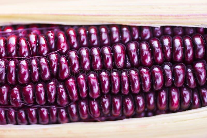 Πορφυρός φρέσκος στενός επάνω καλαμποκιού - ροδοκόκκινη βασίλισσα του Σιάμ ή γλυκό κόκκινο καλαμπόκι στο σπάδικα στοκ φωτογραφία