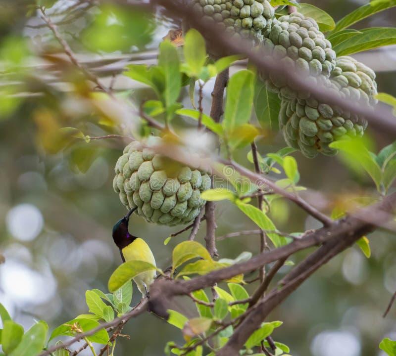 Πορφυρός-sunbird στοκ φωτογραφίες με δικαίωμα ελεύθερης χρήσης