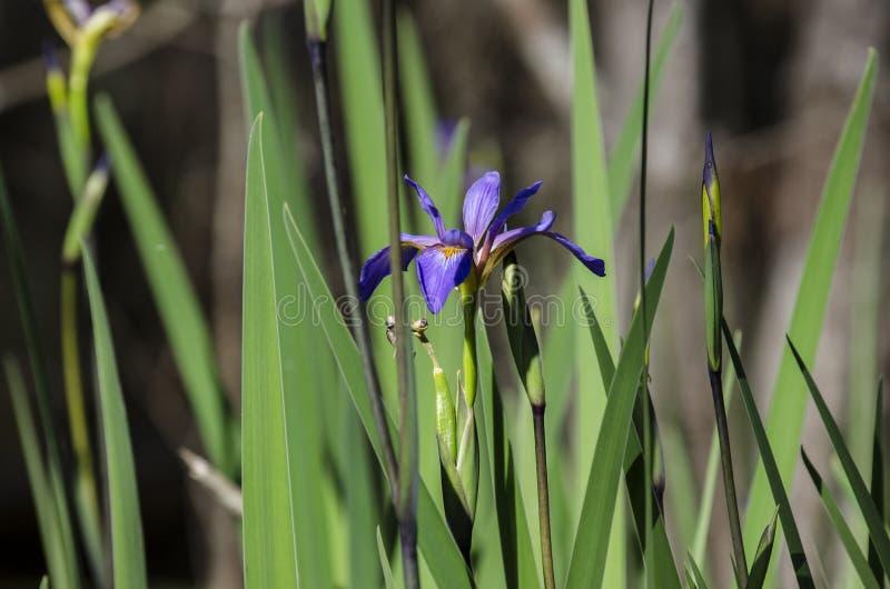Πορφυρό έλος Iris, εθνικό καταφύγιο άγριας πανίδας ελών Okefenokee στοκ εικόνα με δικαίωμα ελεύθερης χρήσης